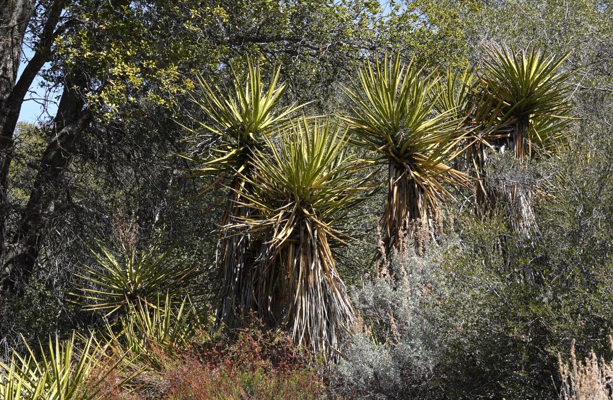 cactus yuccaweb