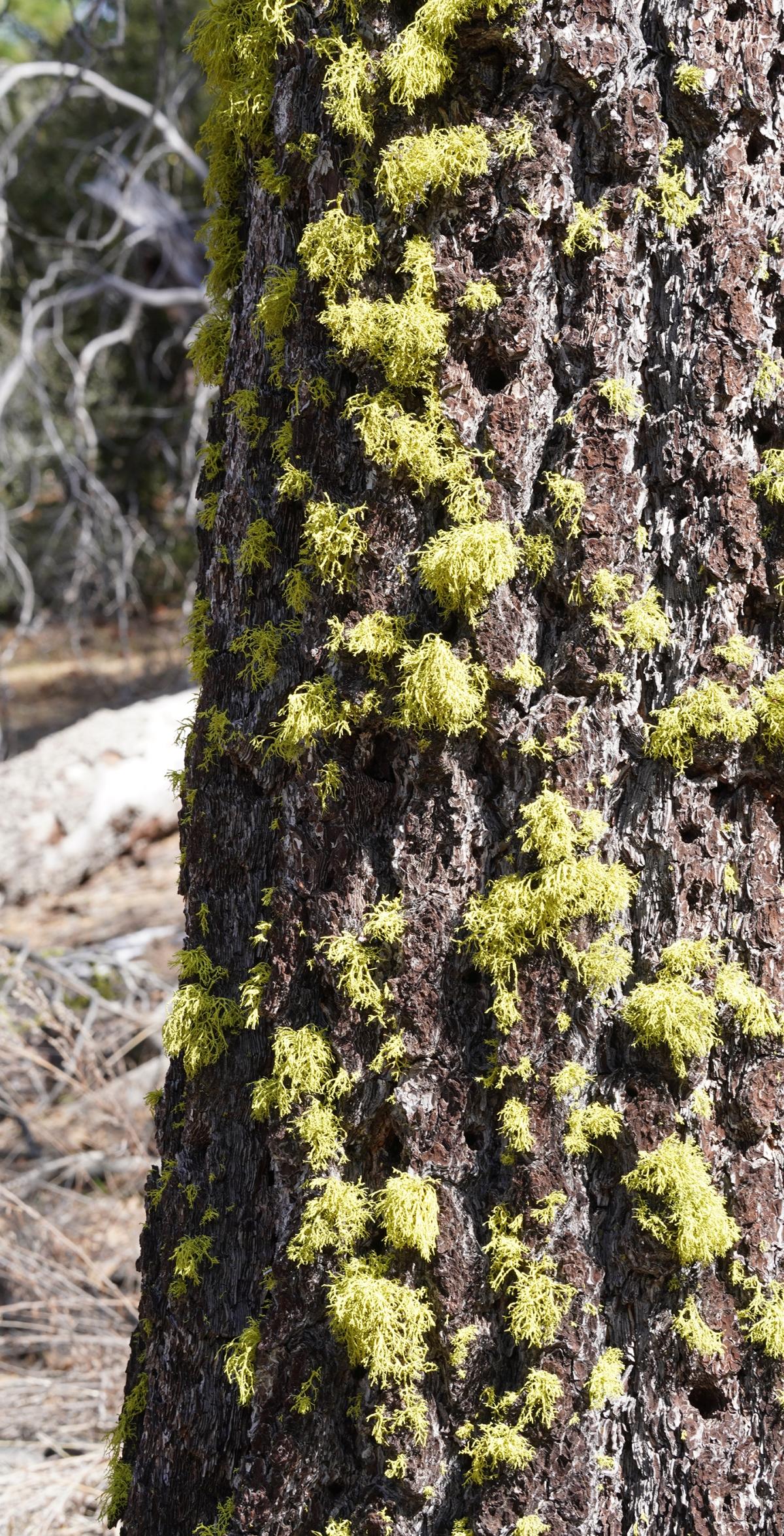 lichenweb